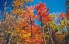 Autumn Color Against a Cobalt Blue Sky Picture Thumbnail
