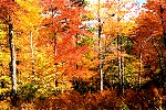 A Symphony of Autumn Color in Forbes State Forest Picture Thumbnail