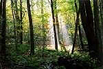 Morning Sun Beams Pierce the Forest Canopy Picture Thumbnail