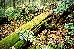A Moss Covered Dead Tree Along McCune Trail Picture Thumbnail