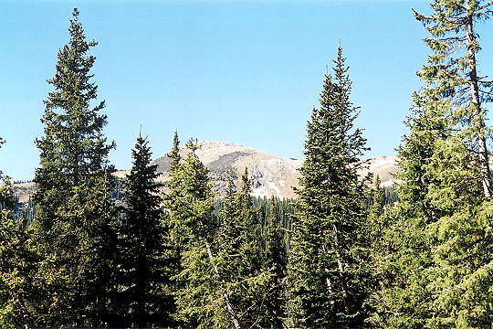 Pine Forest Below the Tree Line of the San Juan Mountains Picture