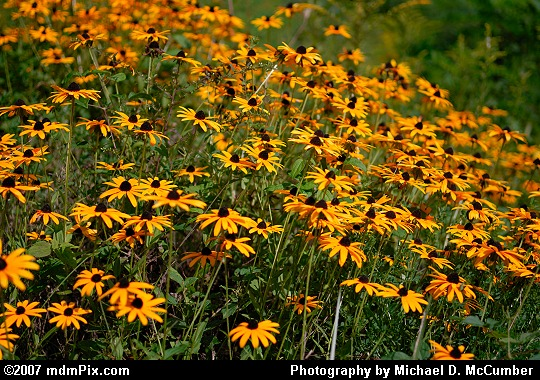 Prairie Coneflower Patch along the Youghiogheny River Trail Picture