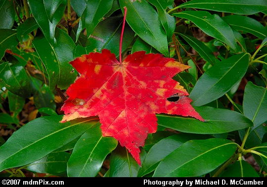 Red Maple Leaf Resting Upon Mountain Laurel Picture